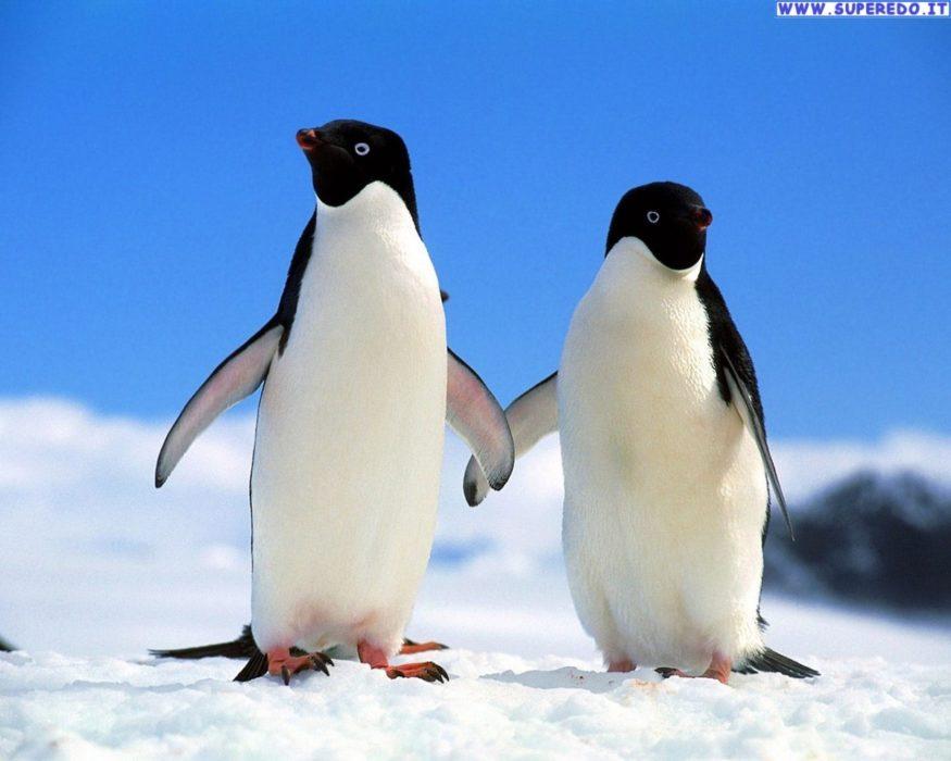 La prova del Pinguino – sondaggio